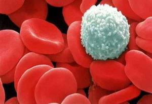 Leucociti