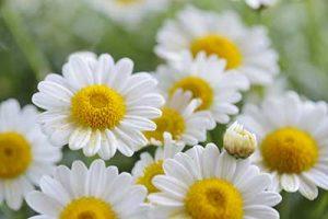 camomilla fiori