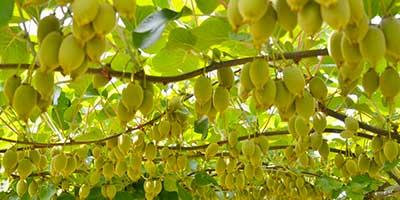 Kiwi propriet nutrizionali e caratteristiche for Albero di kiwi
