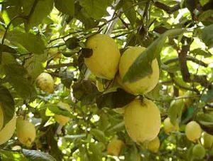 limone pianta