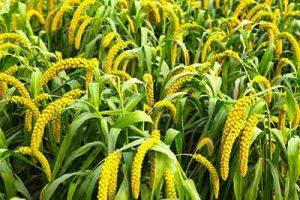 miglio pianta