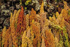 quinoa piante
