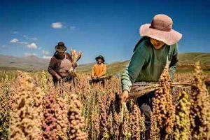quinoa raccolta