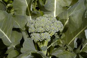 broccolo infiorescenza